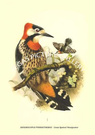 Dendrocopus pyrrhothorax - great spotted woodpecker